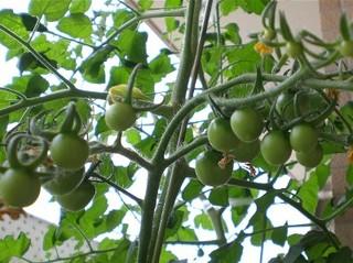 Tomato080609