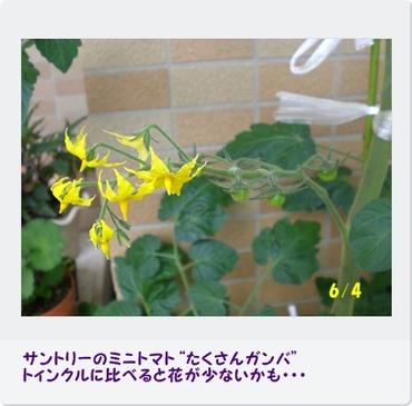 Tomatoganba100604