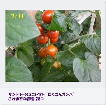 Tomatoganba100711