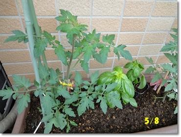 Tomato0508a