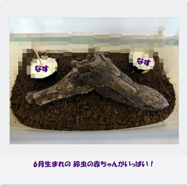 Suzumusi0619