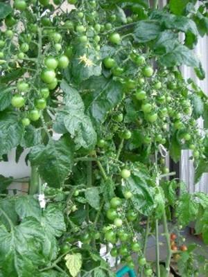 Tomato070622