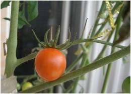 Tomato0815