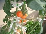 tomato0913